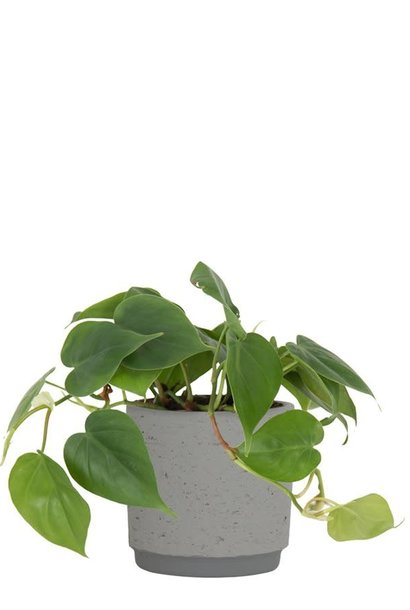 Néria gris (pot)