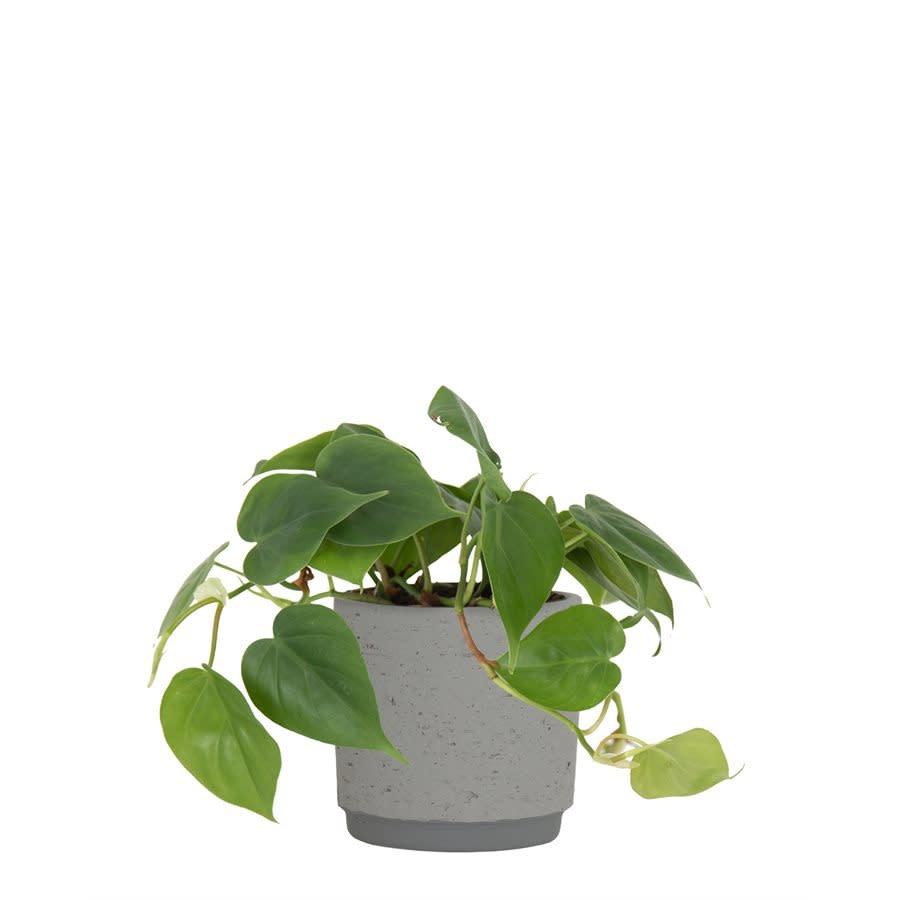 Néria gris (pot)-1