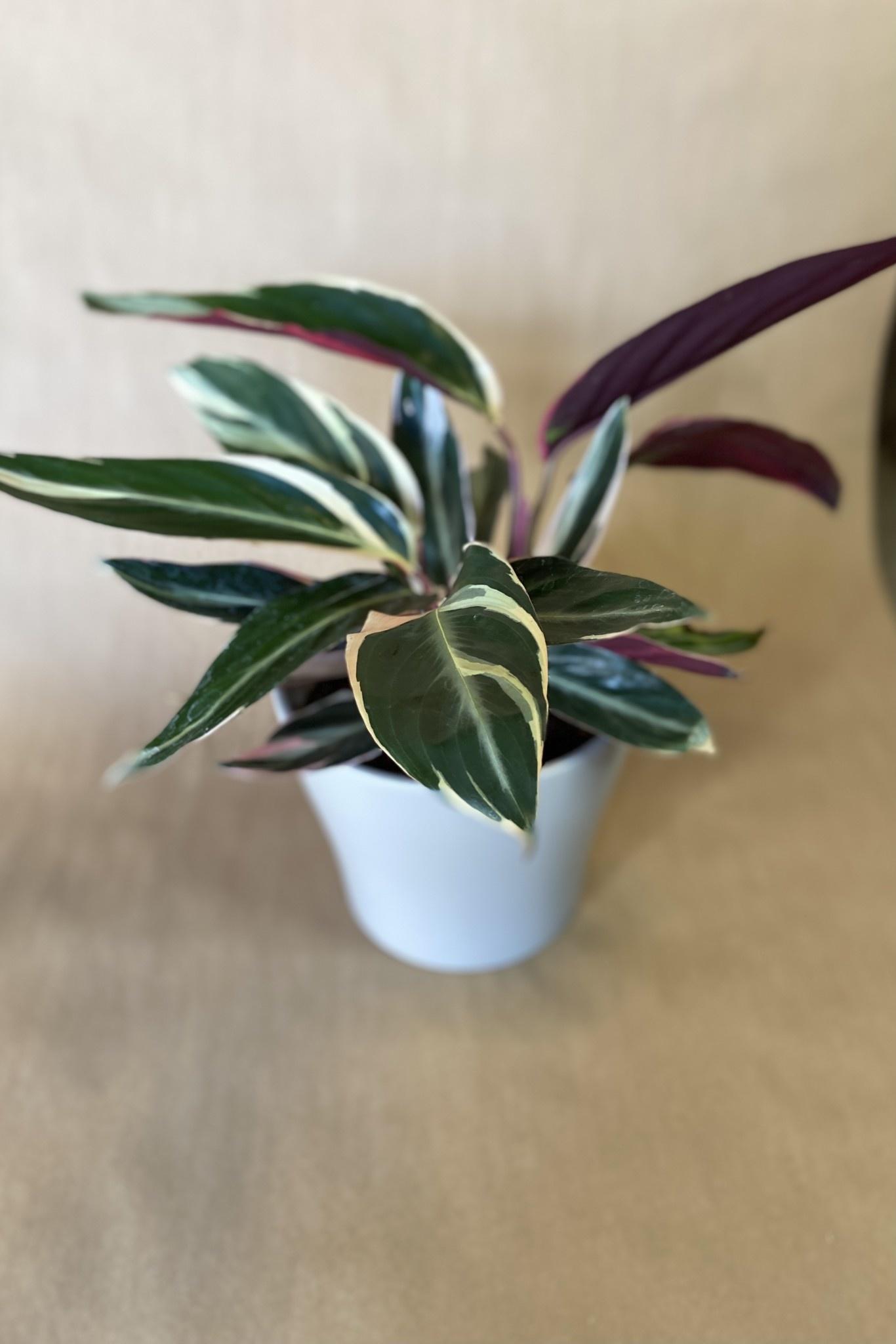 Stromanthe triostard 6po-1