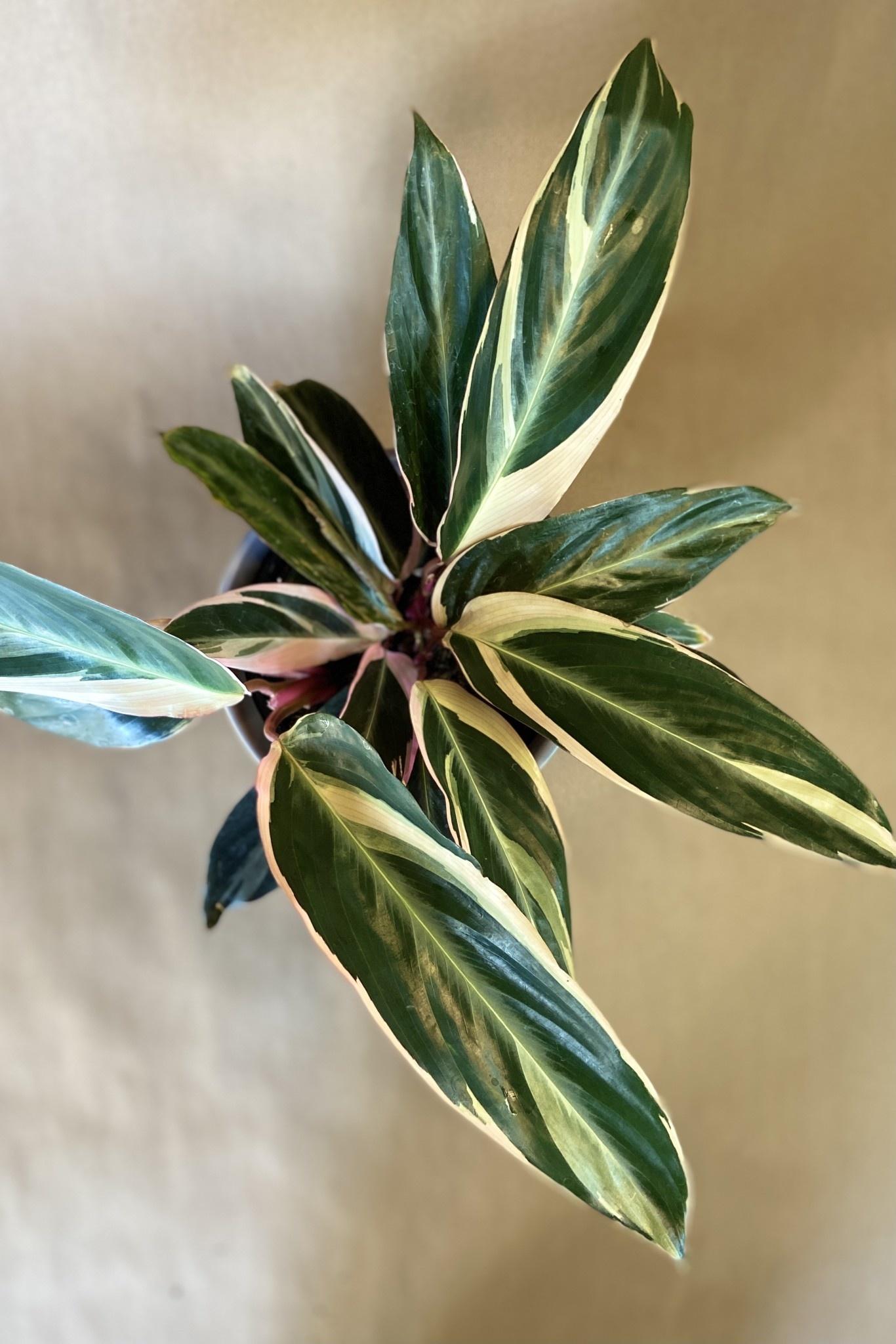 Stromanthe triostard 6po-2