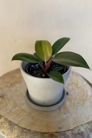 Philodendron rojo congo 4po-2