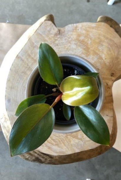 Philodendron rojo congo 4po
