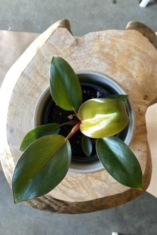 Philodendron rojo congo 4po-1