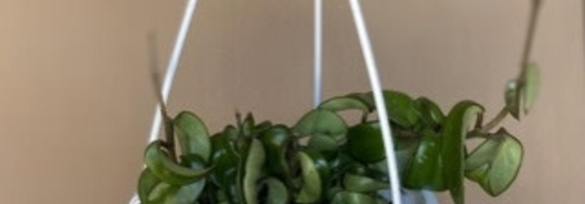 Hoya carnosa « Compacta » 6po PS