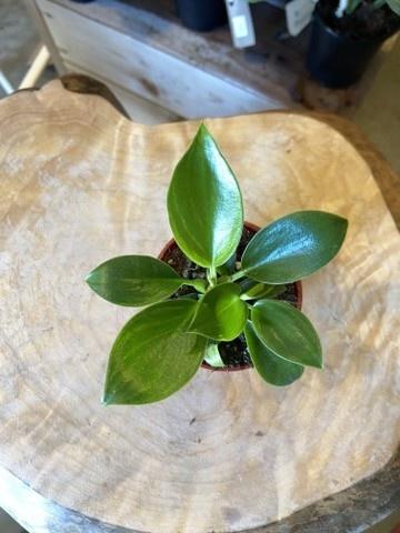 Philodendron Birkin 2.5po-1