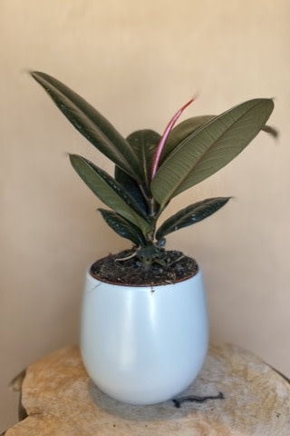 Ficus Elastica Burgundy 6 po - FE-2