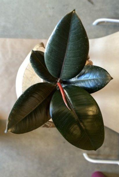 Ficus Elastica Burgundy 6 po