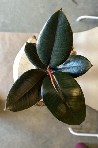 Ficus Elastica Burgundy 6 po - FE-1