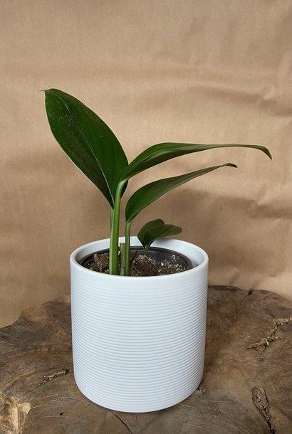 Raphidophora Decursiva 3.5po