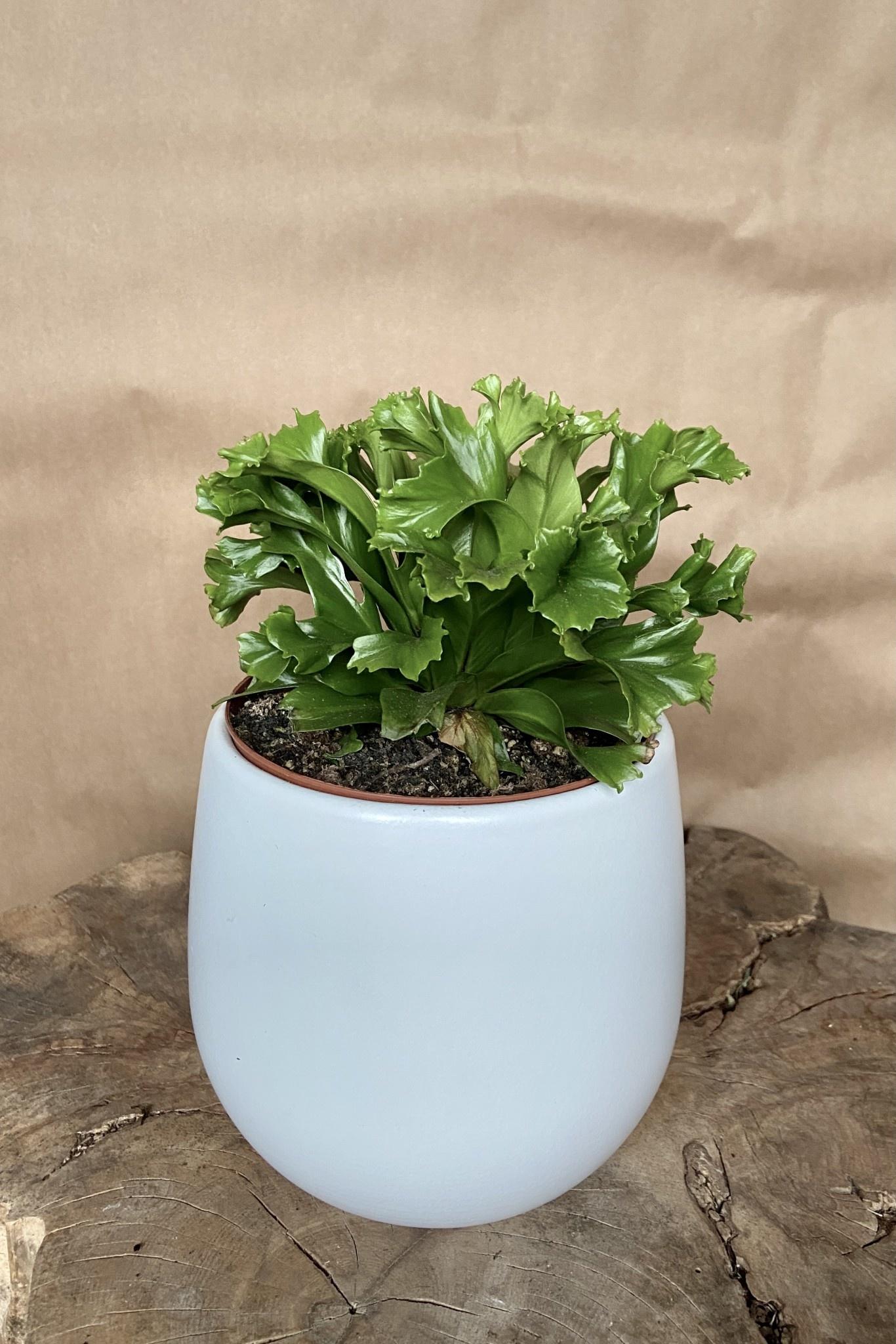 Asplenium nidus 5po-2