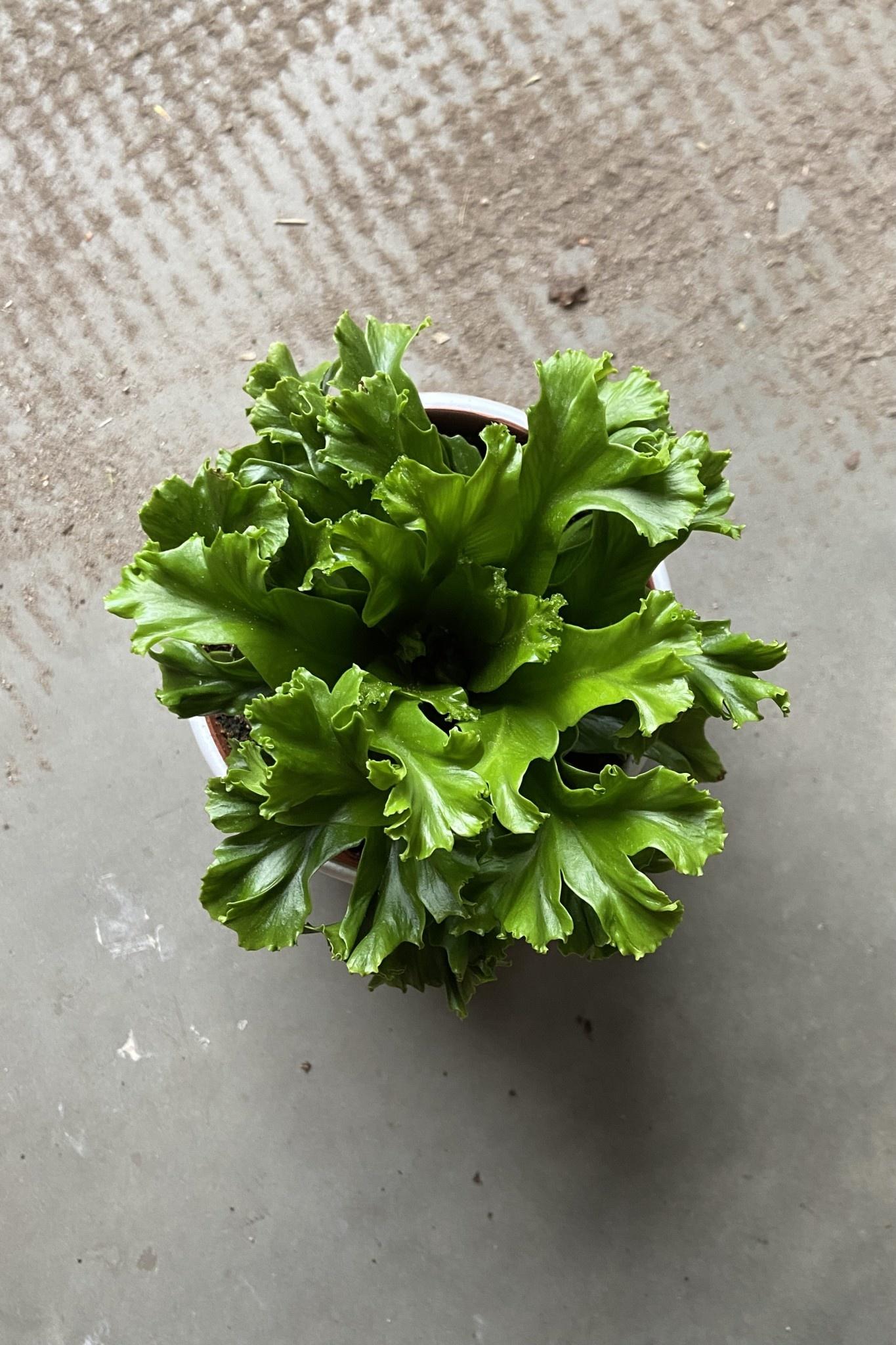Asplenium nidus 5po-1