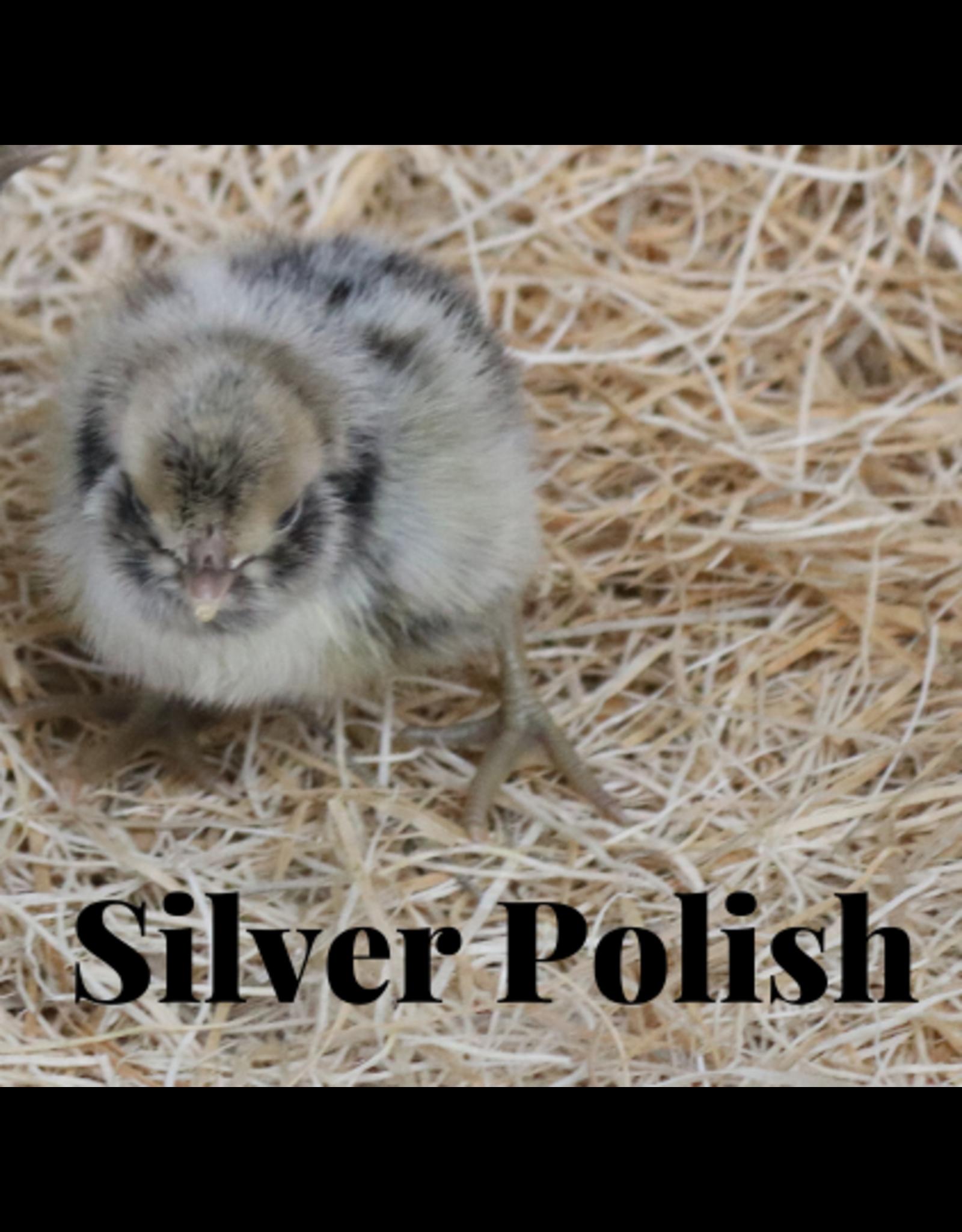 Silver Lace Polish Jan 23