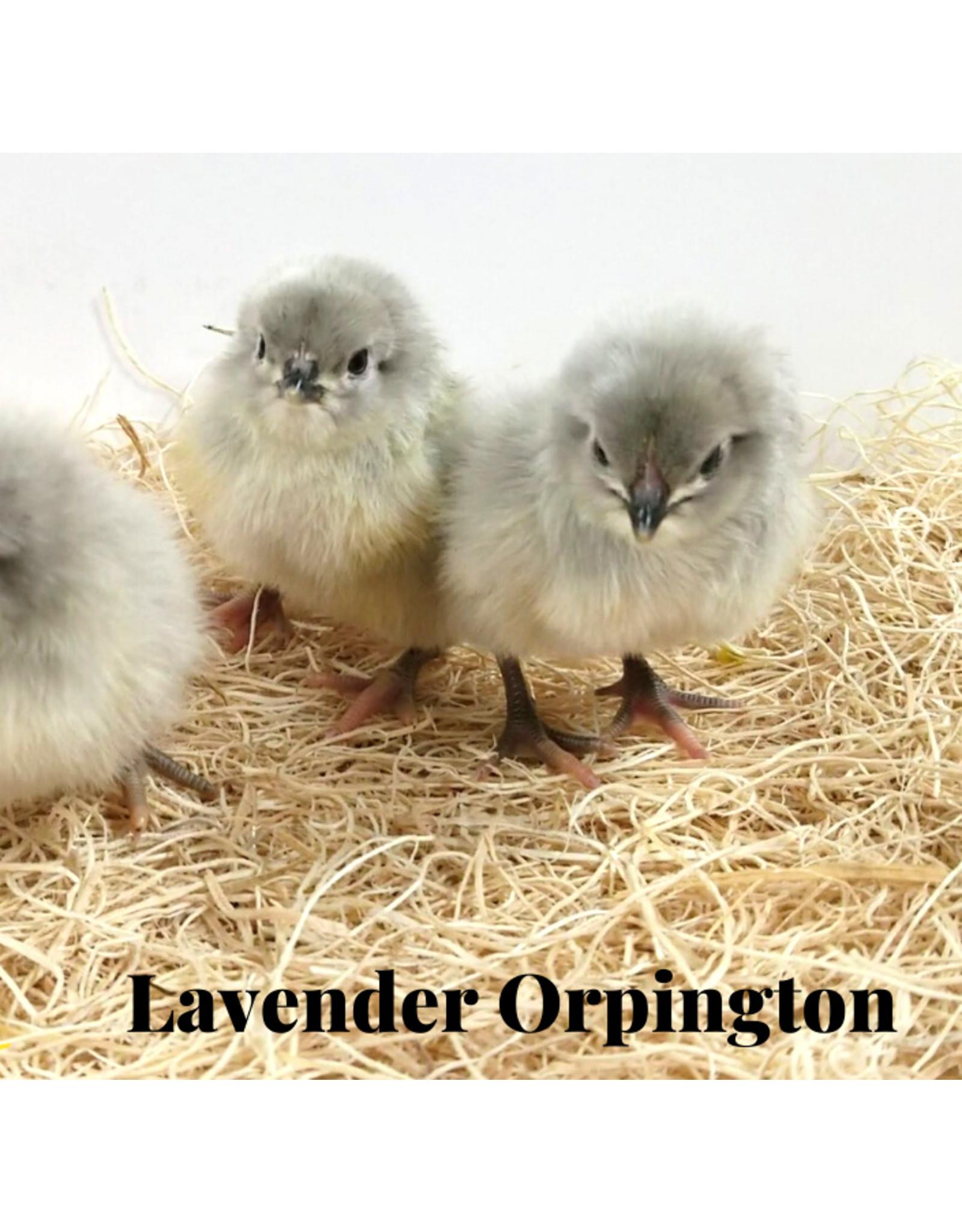 Inspire Farms 5/22 Lavender Orpington