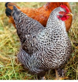 Ideal Poultry Cuckoo Maran Female Chicks 9/17