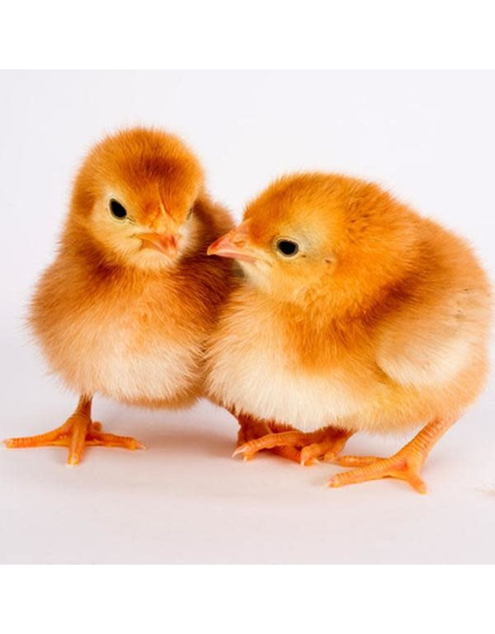Ideal Poultry Rhode Island Red