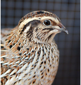 Inspire Farms Coturnix Quail in-stock