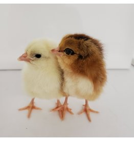 Inspire Farms Mixy Chicks