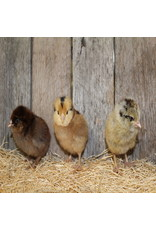 Ideal Poultry 6/19 Easter Eggers