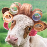 Noel Tate Cow with Curlers