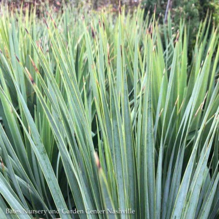 #5 Yucca rostrata Sapphire Skies/Beaked Blue