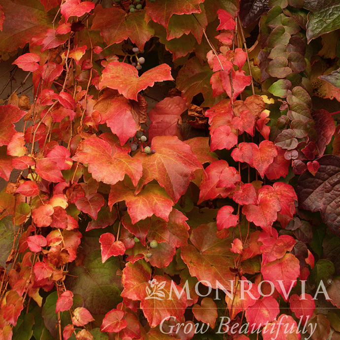#1 Parthenocissus tri 'Veitchii'/Boston Ivy