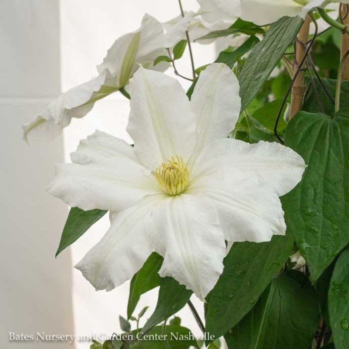 #1 Clematis x Toki/White Repeat Blooms