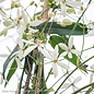 #5 Clematis Armandii/White Evergreen
