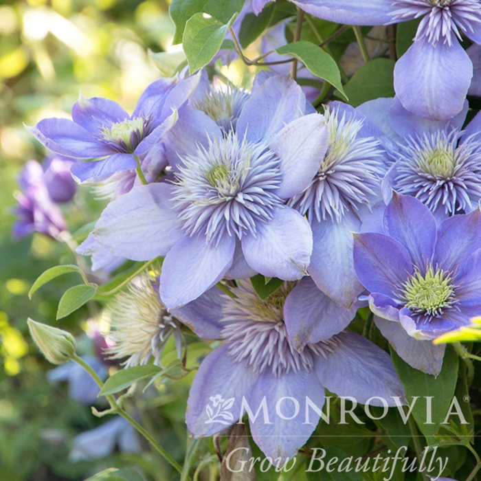 #1 Clematis x Blue Light