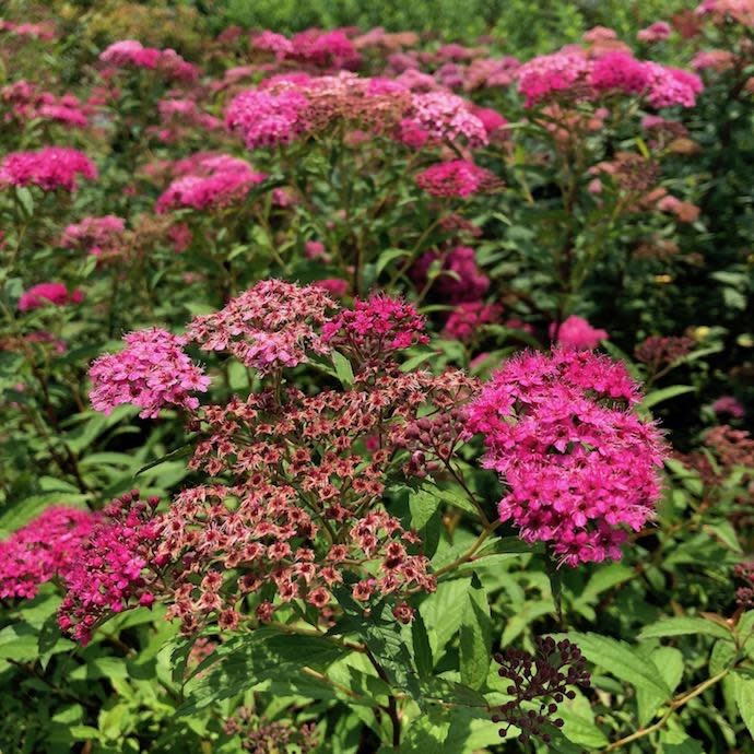#3 Spiraea x Anthony Waterer/Rosy-pink