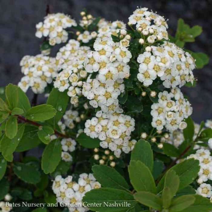 #2 Spiraea n Snowmound/White