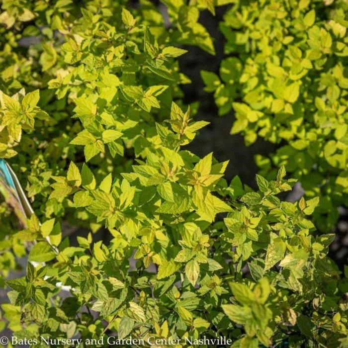 #2 Spiraea x Limemound/Pink Flowers