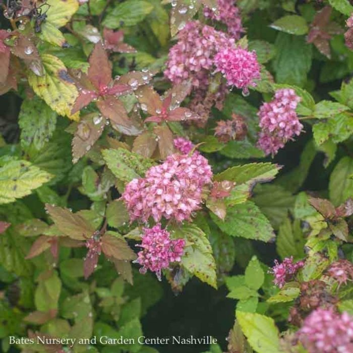 #1 Spiraea j Magic Carpet