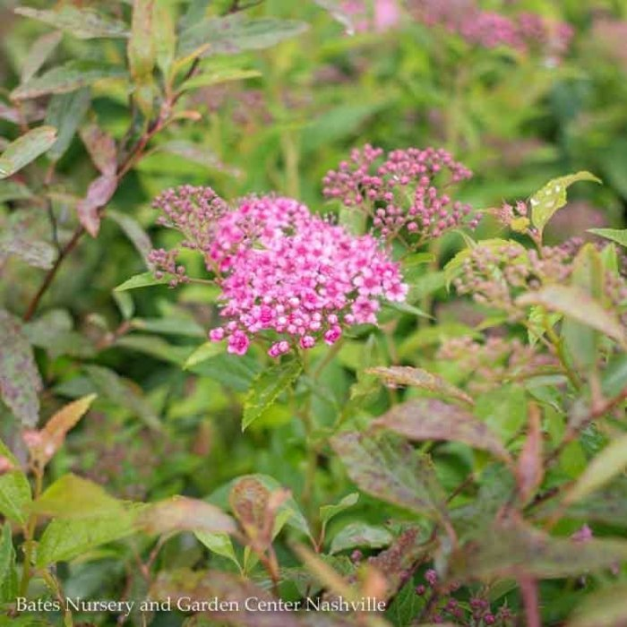 #3 Spiraea Neon Flash/Red Flower