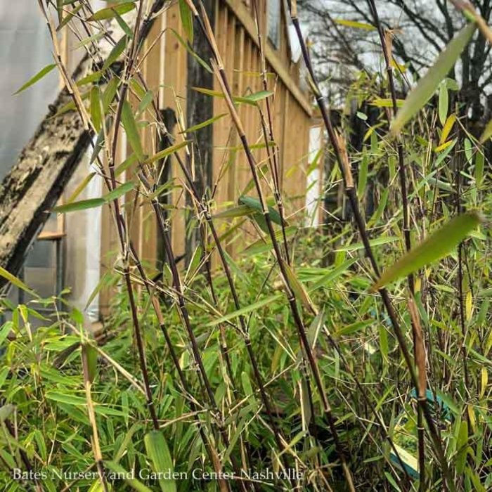 #2 Bamboo Fargesia Jiuzhaigou/Red Clumping