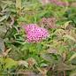 #1 Spiraea Neon Flash/Red Flower