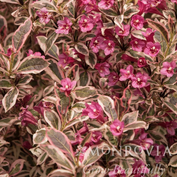 #2s Weigela My Monet Sunset/Variegated