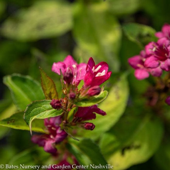 #2 Weigela Golden Jackpot