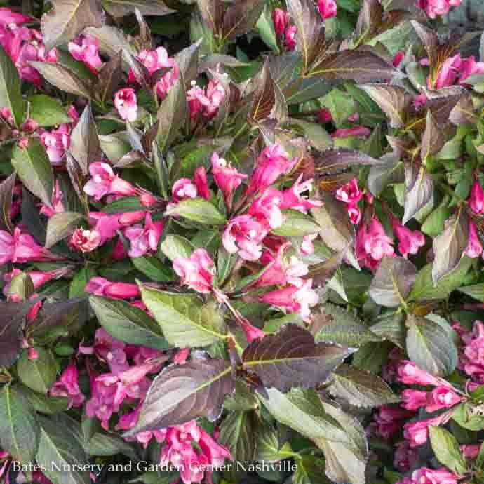 #1 Weigela fl. Spilled Wine