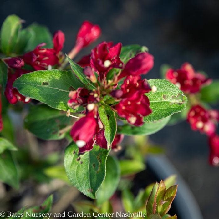 #3 Weigela Maroon Swoon/Repeat