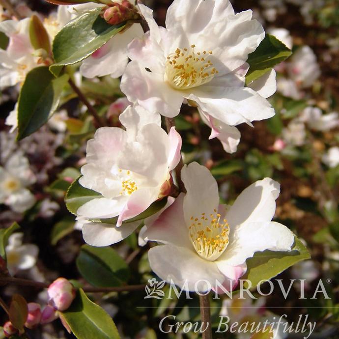 #5 Camellia x Fairy Blush No Warranty