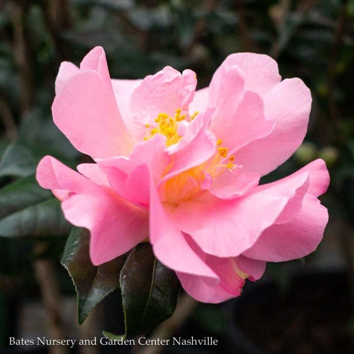 #3 Camellia j Pink Icicle/Pink No Warranty
