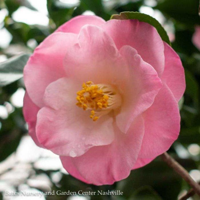 #3 Camellia j April Remembered/Pink No Warranty
