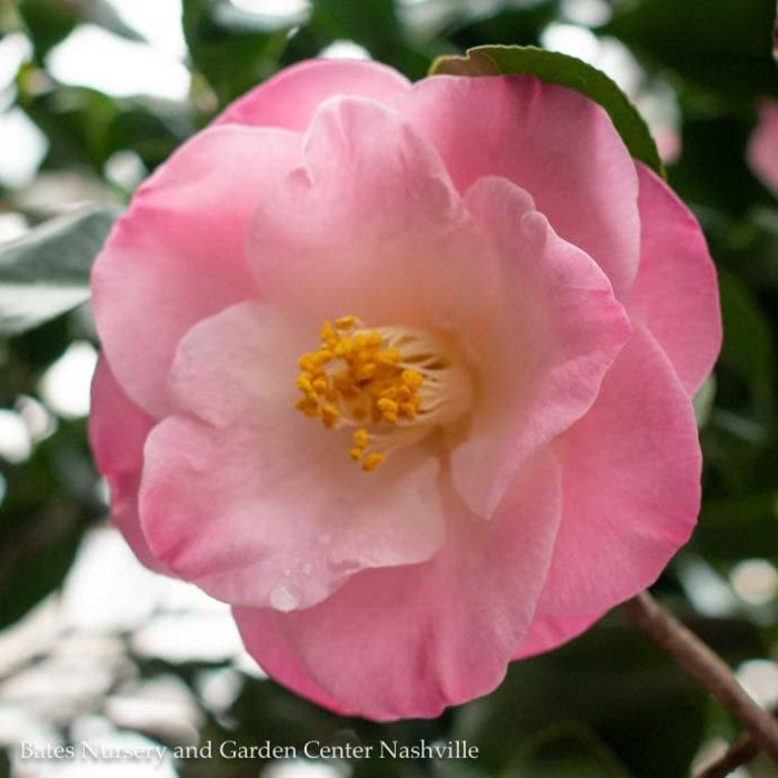 #1 Camellia j April Remembered/Pink No Warranty