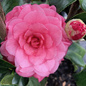 #7 Camellia j April Rose/Rose-red Double No Warranty