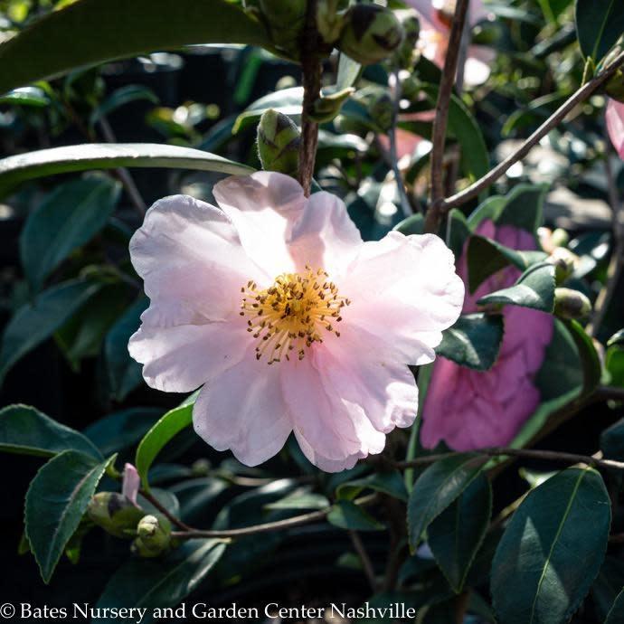#3 Camellia Classic Pink No Warranty
