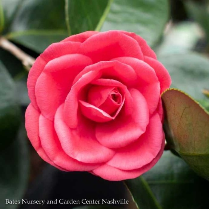 Topiary #7 Patio Tree Camellia x Arctic Rose/Rose-red No Warranty