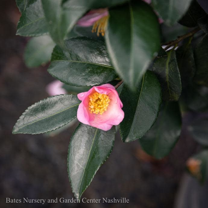 #3 Camellia x Londontowne Blush/Light Pink No Warranty