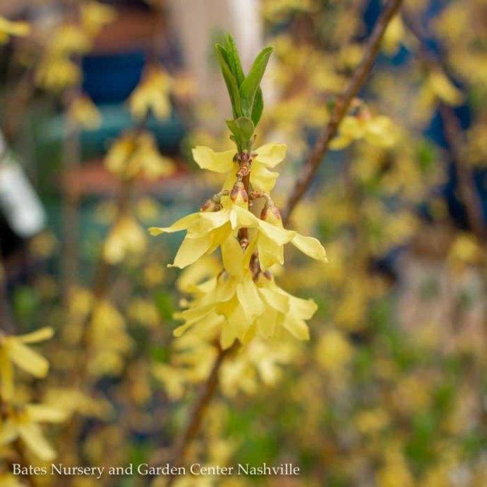 #3 Forsythia x intermedia Lynwood Gold