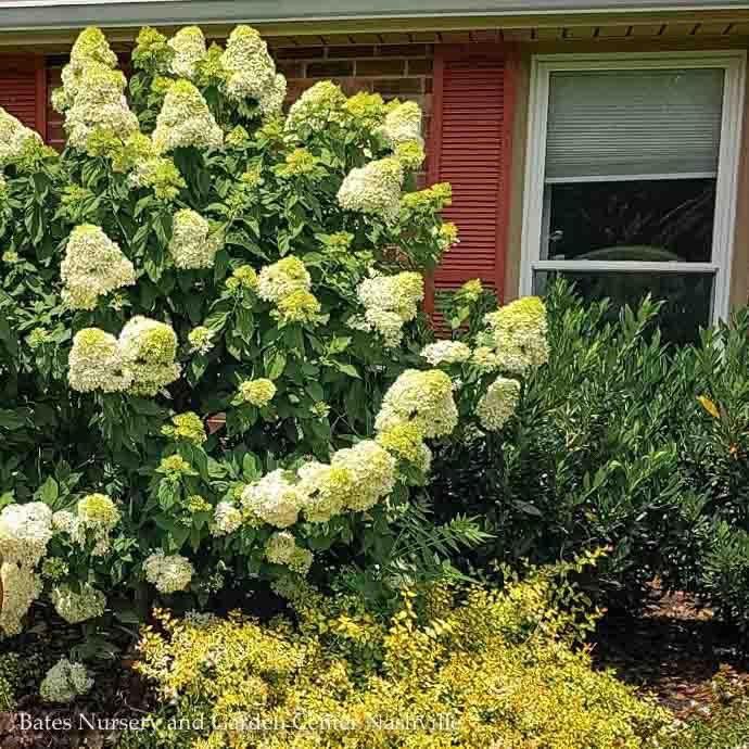 #2s Hydrangea pan Limelight/Panicle White