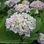 #5 Hydrangea mac Blue Enchantress/Bigleaf/Mophead Rebloom Blue to Pink
